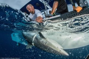 Alex Hearn, working with a shark in the Galapagos